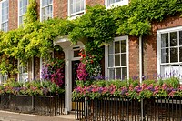 flowers on bricks facade, Henley on Thames, blossoming flowers and greenery on old house brick facade, shot in touristic village on river Thames.