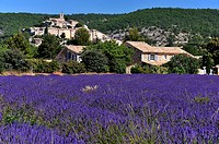 Village Banon and fields of Lavender, Lavandula angustifolia, Banon, Provence, France.