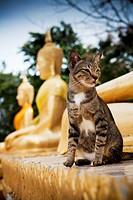 Temple cat sits by Buddhas, Wat Phra Yai temple. Khao Phra Bat hill overlooking Pattaya city, Chonburi province, Thailand.