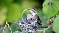 Baby humming birds being feed by their mom