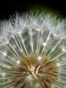 Dandelion seeds (Taraxacum officinale). Montseny Natural Park. Barcelona province, Catalonia, Spain.