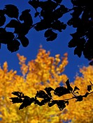 Beech leaves, backlit. Autumn at Montseny Natural Park. Barcelona province, Catalonia, Spain.