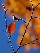 Beech leaf. Autumn at Montseny Natural Park. Barcelona province, Catalonia, Spain.