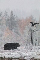 Brown bear, Ursus arctos walking in forest in snow storm and a raven flying above with birches in yellow autumn colors, Kuhmo, Finland.