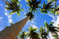 Low angle vie of palm tall palm trees on a sunny day. La Digue island, Seychelles.