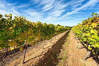 Wide angle photo of vineyards in autumn colour on a sunny day. Cape area, South Africa.