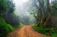 Landscape photo of a road through an indigenous South African forest on a misty morning. Debengeni Falls, Magoebaskloof, Limpopo, South Africa.