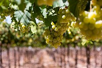 Grape Vineyards variety of Vinalopo, Monforte del Cid, Alicante, Spain