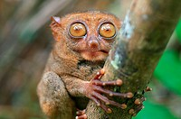 portrait Philippine tarsier (Carlito syrichta) island Bohol, Philippines, Southeast Asia.
