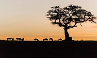 Silhouette of wildebeests and acacia on sky on sunset. Masai Mara NP.