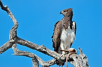 Martial Eagle (Polemaetus bellicosus), on a dead branch, with the tail and the paw of a meerkat (Suricata suricatta), in its talons, Etosha National P...