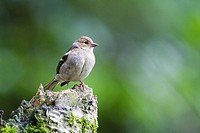 Common chaffinch (Fringilla coelebs) Scotland, UK.