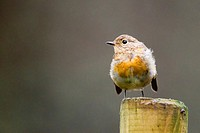 Robin (Erithacus rubecula) Scotland, UK.