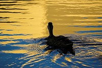 Duck floating in sunset lit lake.