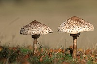 Parasol Mushroom-Macrolepiota procera.