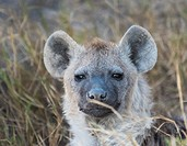Close up of spotted hyena Crocuta crocuta. Amboseli. Kenya. Africa.