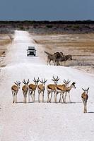 Springbok (Antidorcas marsupialis) - Etosha National Park - Namibia, Africa.