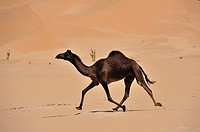 Funny running of a camel, Camelus dromedarius, in the dunes of the desert Rub al Khali, Oman.