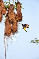 South America,Brazil,Mato Grosso,Pantanal area,Yellow-rumped Cacique (Cacicus cela), nest.