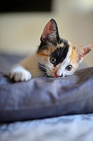 Calico three colored kitten, also known as tortie or tortoiseshell.