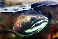 Fear Salmon Oncorhynchus tshawytscha Issaquah Hatchery Washington. Salmon swim up the Issaquah creek from the sea and are caught in the Hatchery. In t...