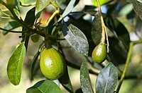 Unripe avocados in a tree in the south of Ethiopia.