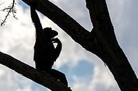 Chimpanzee scratching its neck on a tree.