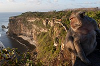 Monkeys along the cliffs next to the Ulu Watu temple Pura Luhur. Bali. Uluwatu Temple is a Hindu temple set on the cliff bank in south part of Bali Pe...