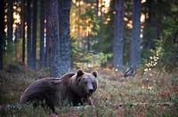 Brown Bear (Ursos arctos), in boreal pinewood in autumn, Finland.