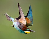 Bee-eater (Merops apiaster), flying, Bulgaria.