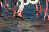 Greater flamingos (Phoenicopterus ruber), group feeding in shallow water, Camargue, France.