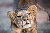 Lion (Panthera leo), stretching cub, Samburu National Reserve, Kenya.