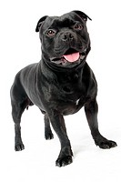 Portrait of Stanford shire bull terrier dog.