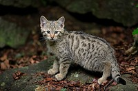 Wild Cat (Felis silvestris) kitten, Bayerischer Wald National Park, Bavaria, Germany.