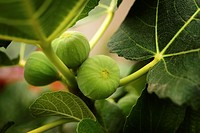 green figs on a branch.