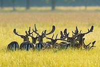 Herd of Fallow Deers (Cervus dama) in a meadow, Hesse, Germany, Europe.