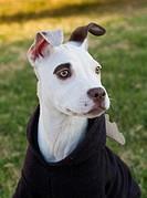 dog, a pit bull cross.