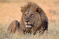 African lion (Panthera leo) - Male, Savuti, Chobe National Park, Botswana.