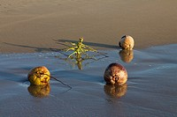 Coconuts and root on beach, Pacific Ocean, Mexico