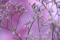 limonium overig maine blue, long-lived, violet meadow flower, the language of flowers symbolises remembrance.