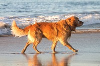Golden retriever, Pacific Ocean, Mexico.