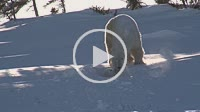 Polar Bear (Ursus maritimus) female walking outside of den and cub hiding under her
