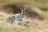 Mountain Hare (Lepus timidus) adult in spring coat shaking after grooming.