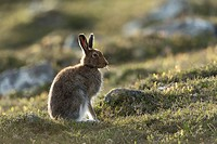 Mountain Hare (Lepus timidus) adult in spring coat on moorland.