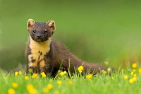 Pine Marten (Martes martes) on ground amongst buttercups.