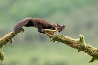 Pine Marten (Martes martes) leaping between mossy logs.