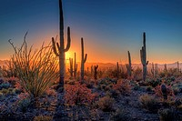 The sun sets amongst the cactus at Saguaro National Park, Arizona. U.S.A.