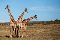 Three giraffes on the savanna.