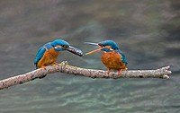 Male Common Kingfisher, Alcedo atthis, Offers Fish To Female During Courtship.UK.