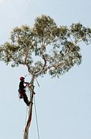 Arborists prepare to remove the lopped trunk of a mature eucalypt from a backyard in Melbourne, Australia.